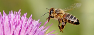 Honeybee_landing_on_milkthistle02 (1)
